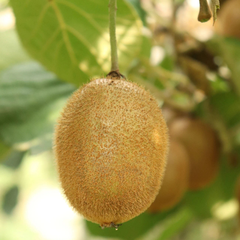 示例:猕猴桃种植基地